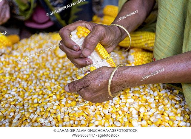 Maize in Bangladesh at most Third important cereal after rice and wheat. New crop: 3100 ha in 1900, 10000 ha in 1995, 202000 ha in 2009-2010