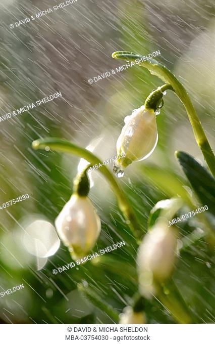 Spring Snowflake, Leucojum vernum, blossom