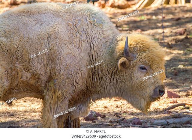 American bison, wood bison, buffalo (Bison bison athabascae), albino, white buffalo, USA, Arizona, Bearizona Wildlife Park, Flagstaff