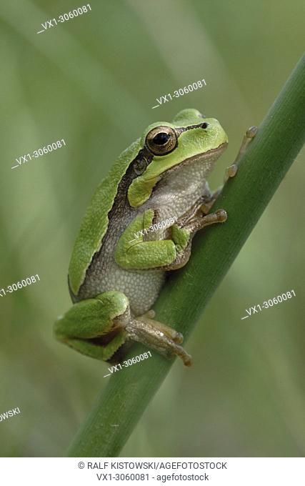 Green European Tree Frog ( Hyla arborea ) resting on a stick of reed, wildlife, Europe.