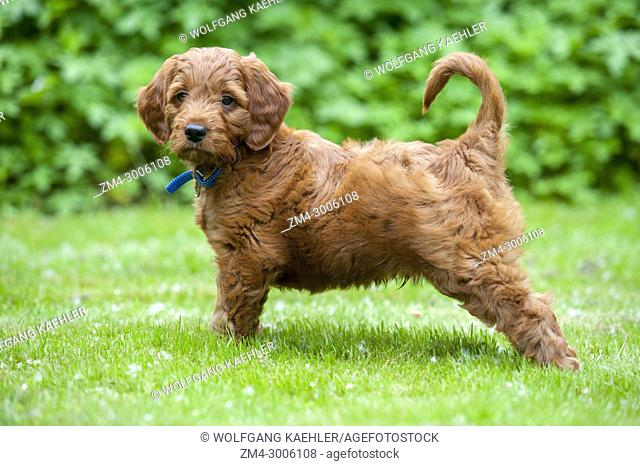 8 week old Goldendoodle male puppy