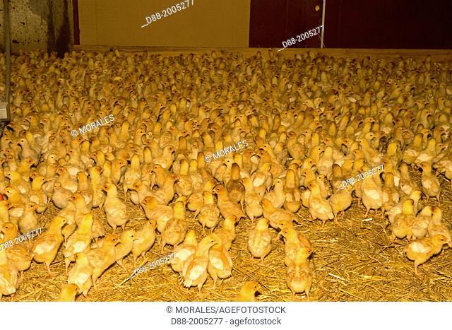 France , Siegen , poultry farming , breeding broilers