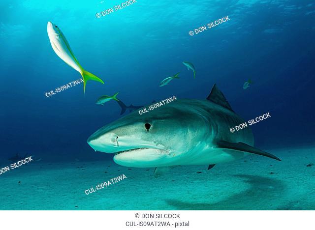 Underwater portrait of reef shark, Tiger Beach, Bahamas