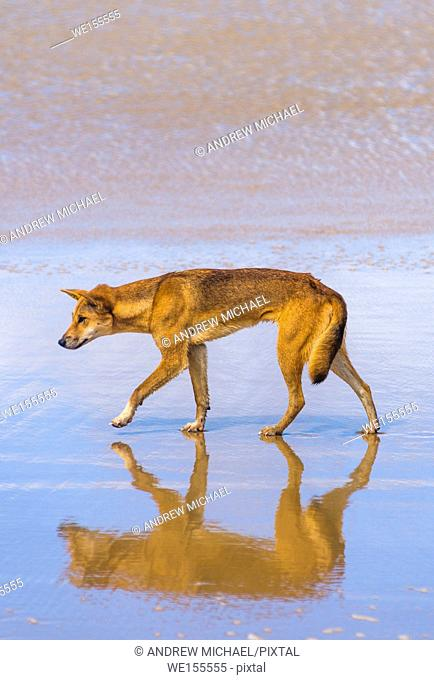 Dingo on 75 mile beach, Fraser Island, Queensland, Australia