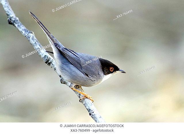 Sardinian Warbler, Sylvia melanocephala