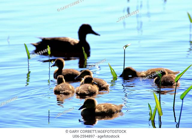 A brood of black duck ducklings on the water