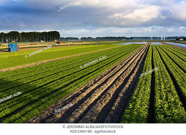 Agriculture cultivation fields, Pontorson, Avranches, Lower Normandy, Manche, France, Europe