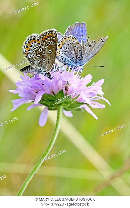Silver-studded Blue, Plebejus argus  with Idas Blue, Northern Blue, plebejus idas, plebeius, Lycaeides idas, Butterflies on lavender scabious  Underwing clearly...