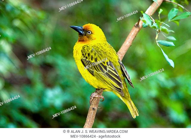 Male Cape Weaver - on perch (Ploceus capensis). Grahamstown, Eastern Cape, South Africa. Inhabits grassland and fynbos, especially along river courses
