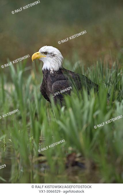 Bald Eagle ( Haliaeetus leucocephalus ), adult, sitting on the ground, hiding in reed grass at the bank of a lake, hunting