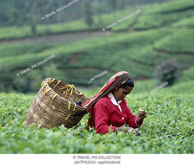Tea Fields / Tea Picker, Nuwara Eliya, Sri Lanka