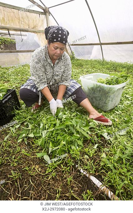 Rosharon, Texas - Cambodian immigrant Patty Ly, 50, grows water spinach in her south Texas greenhouse. She is part of a community of Cambodian refugees who...