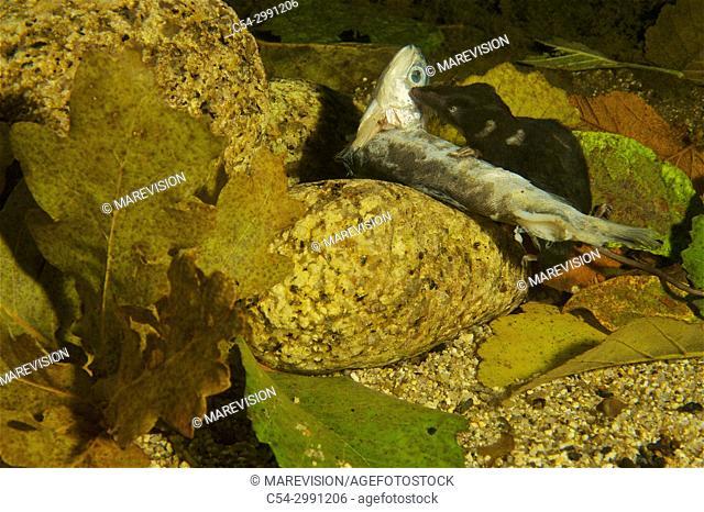 Eurasian Water Shrew. Northern Water Shrew. Water Shrew (Neomys fodiens). Rio Tea. Galicia. Spain. Europe