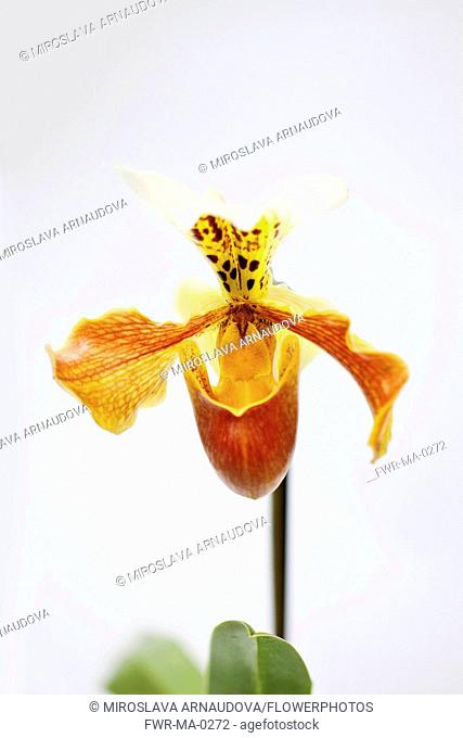 Orchid, Studio shot of peach coloured flower