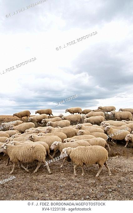 Seasonal migration of livestock in Bardenas Reales de Navarra  Navarre  Spain  Europe