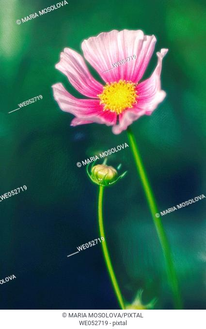 Cosmos flower and a bud. Cosmos bipinnatus. June 2006. Maryland, USA