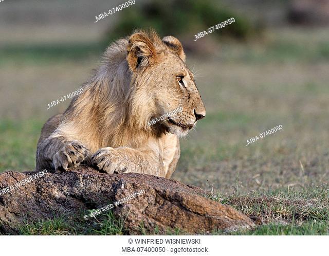 Young lion male, Panthera leo, portrait, Maasai Mara, Kenya