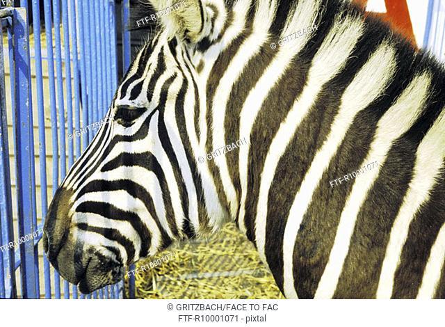 Zebra in a cage