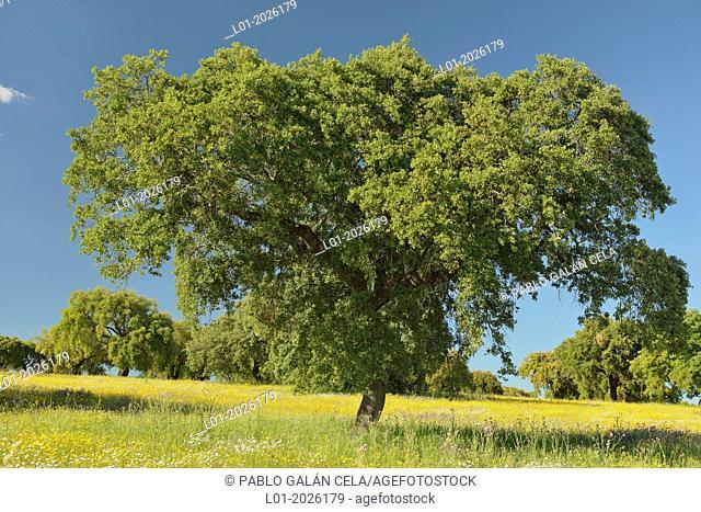 Encina tree Quercus ilex