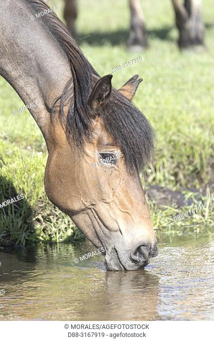 China, Inner Mongolia, Hebei Province, Zhangjiakou, Bashang Grassland, one horse drinking