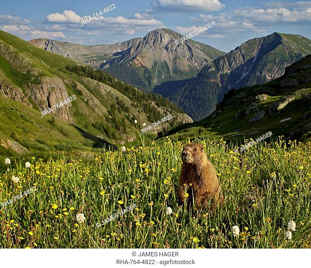 Yellow-bellied marmot (yellowbelly marmot) (Marmota flaviventris) in its Alpine environment, San Juan National Forest, Colorado, United States of America