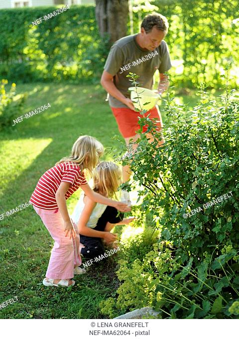 Girls picking gooseberries with their father Sweden