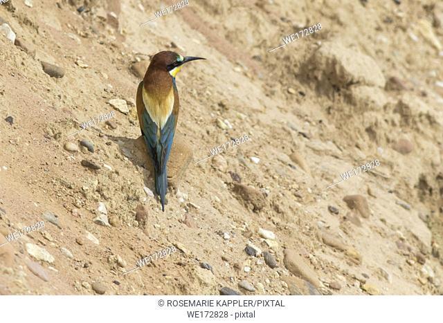 Eurasian bee-eater in a sandpit near gerolsheim in palatia