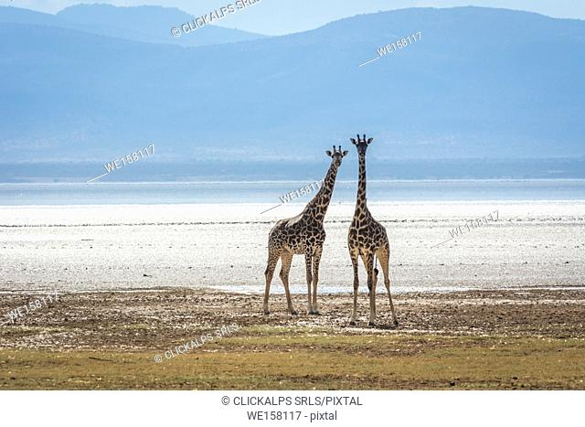 Tanzania, Africa,Lake Manyara National Park,two young giraffes