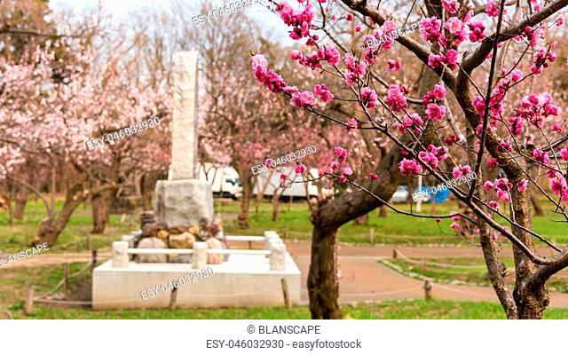 Closeup pink sakura or cherry blossom in Maruyama Park, Sapporo
