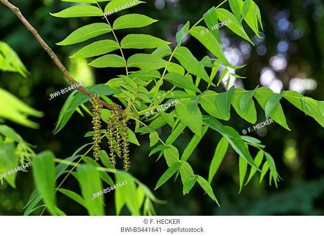 little walnut, Texas walnut, Texas black walnut, little black walnut (Juglans microcarpa), branch with mal catkins