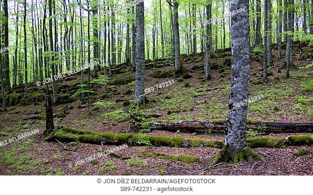 Selva de Irati en primavera. Navarra. España. Europa