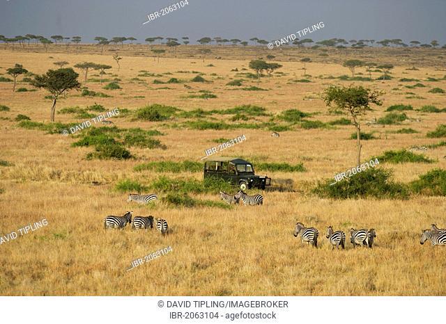 Aerial view of Plains Zebras (Equus quagga) and safari vehicle, Masai Mara, Kenya, Africa