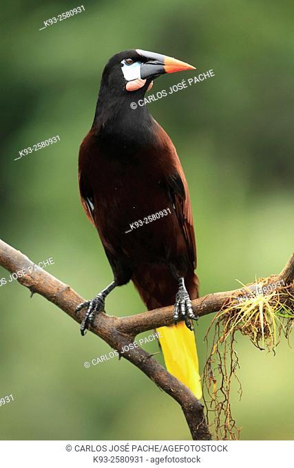 Montezuma oropendola (Psarocolius montezuma). Boca Tapada, Costa Rica