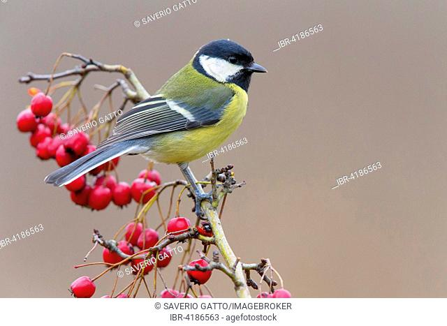 Great Tit (Parus major), Perched on Hawthorn with red berries, Tuscany, Italy