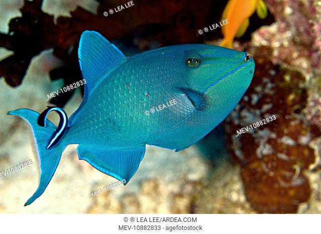 Redtooth / Red-toothed Triggerfish - being cleaned by a Cleaner Wrasse (Labroides dimidiatus) (Odonus niger). Maldives