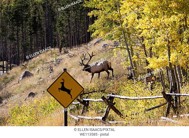 Amusing image of elk emerging from woods and crossing in front of deer crossing sign in Rocky Mountain National Park in Colorado