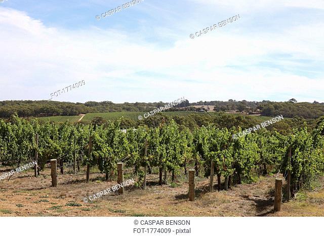 Scenic view of idyllic, sunny vineyard landscape