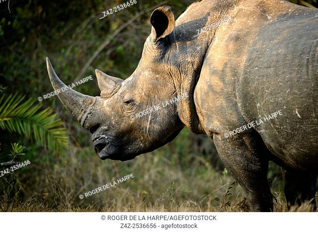 White rhinoceros or square-lipped rhinoceros or rhino (Ceratotherium simum). Kruger National Park. Mpumalanga. South Africa