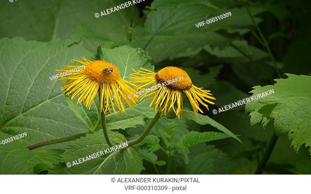 Bee on a flower Elecampane or horse-heal (Inula helenium)