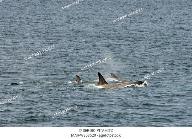 Antarctica, South Shetlands Islands, Orcas