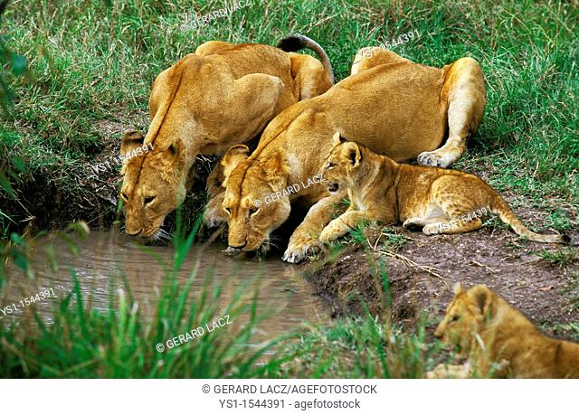 African Lion, panthera leo, Females with Cub Drinking at Water Hole, Kenya