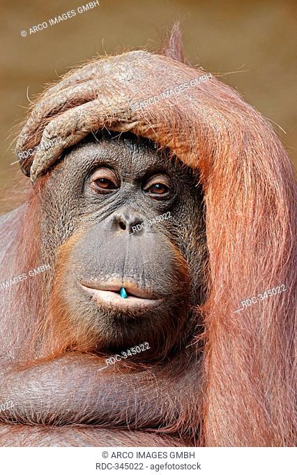 Bornean Orang-utan, female / Pongo pygmaeus pygmaeus / Bornean Orangutan