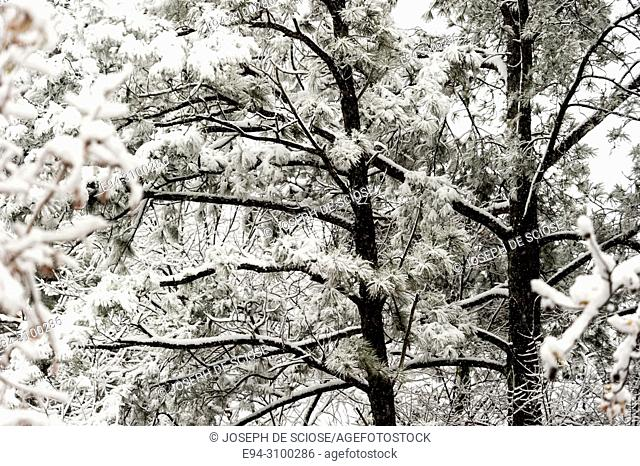 A dusting of snow on the branches of pine trees during a snow storm.Birmingham, Alabama, USA
