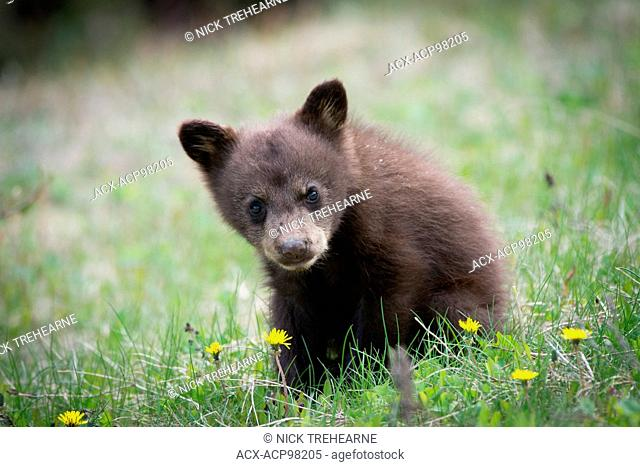 Ursus americanus, black bear, rocky mountains, Alberta, Canada, cub, young