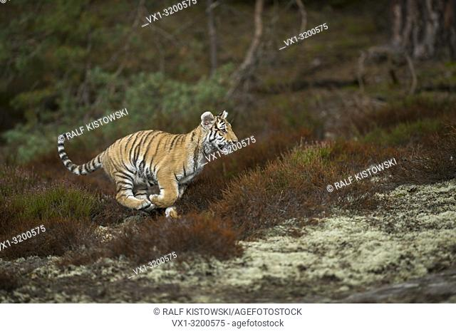 Royal Bengal Tiger ( Panthera tigris ), runs fast through undergrowth, jumping, passing a clearing, in a hurry