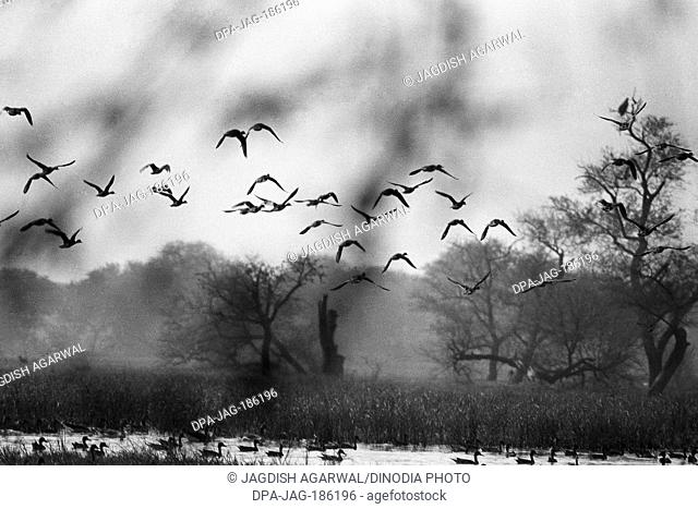 Flying birds group Keoladeo bird sanctuary Bharatpur Rajasthan India Asia 1982