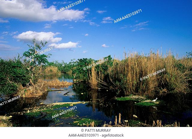 Everglades N.P., Florida, American Alligators, Great Blue & Little Blue Herons