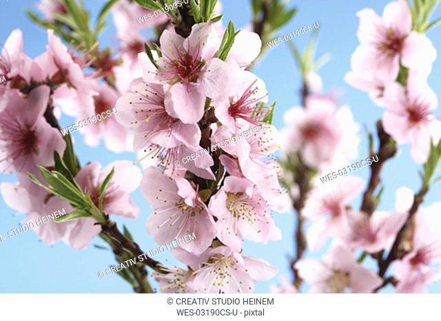Nectarine flowers, Prunus Nucipersica