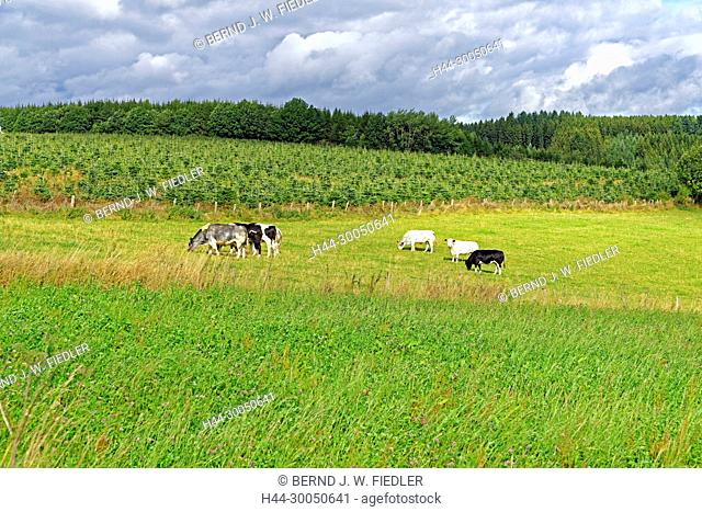 Scenery, cattle, Nadrin Belgium