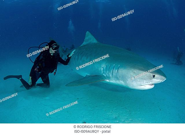 Underwater view of scuba diver touching tiger shark near seabed, Tiger Beach, Bahamas